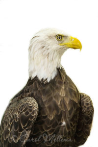 Challenger Bald Eagle at American Eagle Foundation in Pigeon Forge Tennessee Great Smoky Mountains