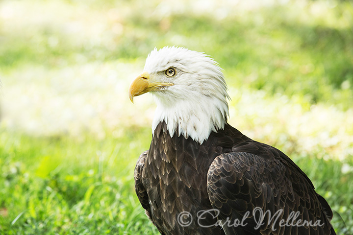 Bald Eagle in captivity at American Eagle Foundation Pigeon Forge Tennessee in Great Smoky Mountains