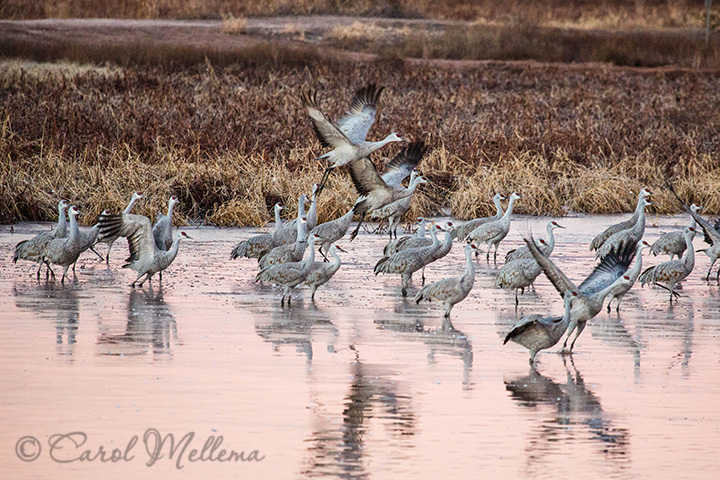Migratory Sandhill Cranes at Whitewater Draw in Arizona