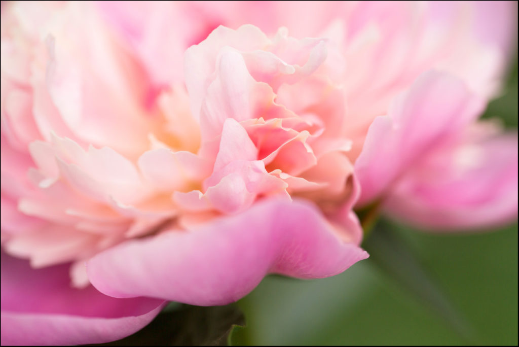 Close up macro of a Peony flower in my garden